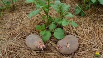 Vorgekeimte Kartoffel vor eine frischen Kartoffelpflanze auf dem Heubett