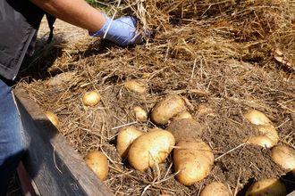 Kartoffel im Hochbeet kurz vor der Ernte (Heumethode)