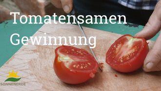 Tipps, wie man aus den eigenen Tomaten die Samen gewinnt